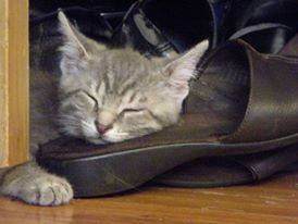 Exhausted from playing fetch Gray Kitten on shoe